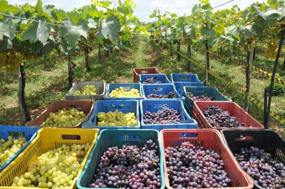 Rendimento médio na produção de uva cai em quatro anos, em São João do Piauí
