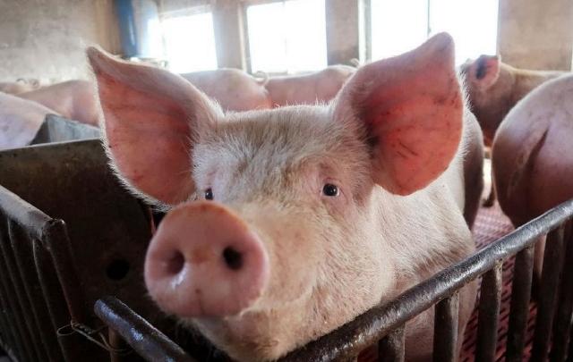 Peste suína africana: OIE relata primeira ocorrência do vírus no Camboja