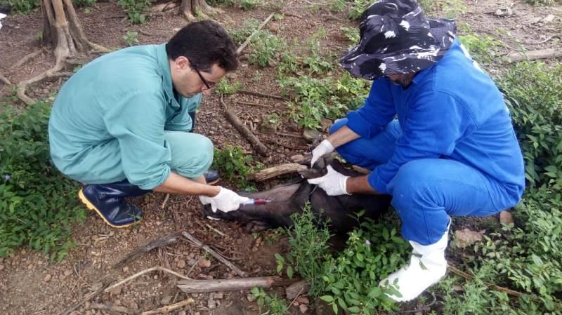 Adapi confirma novos focos de peste suína; mais de 700 animais já foram sacrificados