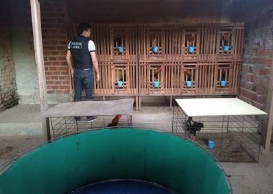 Polícia Civil fecha rinha de galos e prende suspeito em Canto do Buriti