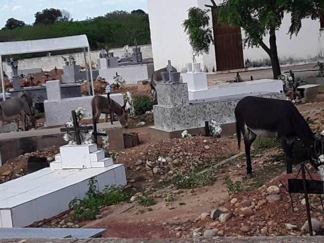 Animais adentram os portões de cemitério em São João do Piauí
