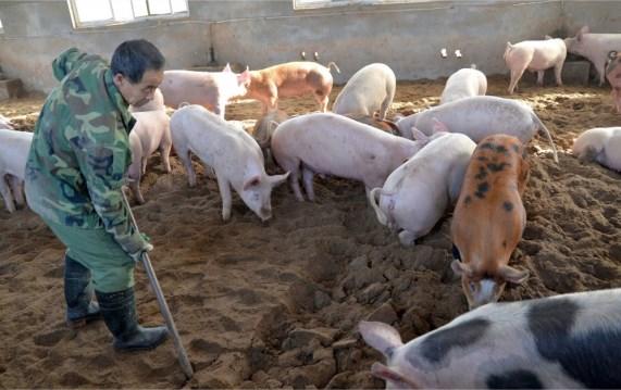 PESTE SUÍNA: FAO eleva para 7,937 milhões número de animais eliminados por doença